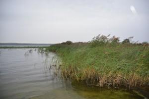 Vassen ska grävas bort med rötterna på i ett stråk på cirka 70 meter längs stranden.