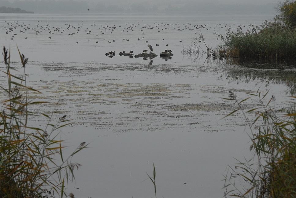 Hägern och änderna försöker hitta mat bland vattenväxterna i Finjasjön. Foto: Urban Önell