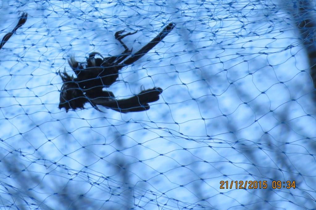 En av de döda fåglarna i nätet såg ut att vara en mes, kanske en blåmes. Foto: Anders Linus Larsson