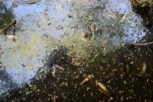 Massor av små fiskar ligger döda eller döende i den förorenade Sötekärrsbäcken vid reningsverket. Foto: Berit Önell