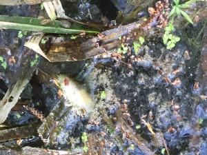 Fisken i bäcken tros ha dött av syrebrist, men provsvaren tyder på att både avlopp och andra föroreningar tillförts bäcken.