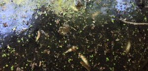 Regitos provsvar tyder på att både avlopp och andra föroreningar tillförs Sötekärrsbäcken, men fiskarna tros ha dött av naturlig syrebrist. Foto: Berit Önell