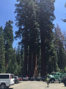 Jätteträden sequoia var något annat än ekarna hemma i Röke, konstaterade blåsarna. Foto: Johannes Ivarsson