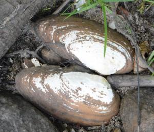 De döda musslorna är av arten spetsig målarmussla.