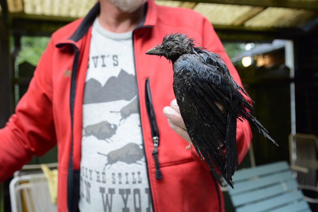 Kajan var indränkt av oljigt slam från reningsverkets slamtorkbäddar när Håkan Winqvist tog hand om den.