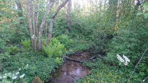 Kommunens ekolog Lars-Erik Williams, som besökte platsen i maj, tycker att det är synnerligen olämpligt att bygga i den fuktiga askskogen med naturliga källsprång som bildar bäckar. Foto: Lars-Erik Williams