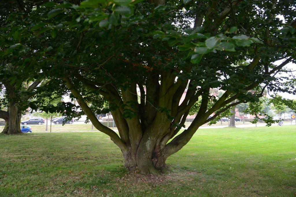 Paradiset hotas av exploatering inom kort, här träd i den del längs Kristianstadsvägen som i första hand ska bebyggas. Foto: Berit Önell