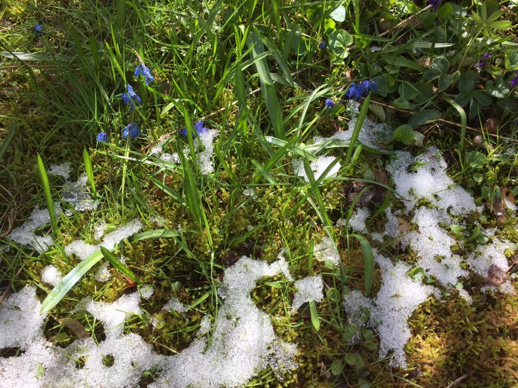 Vår-scilla med snö2