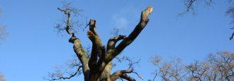 Gamla ekar vid Hässleholmsgården stympas för snabbare åldrande