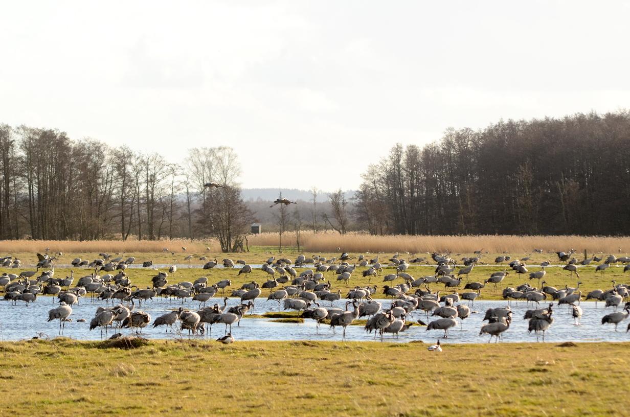 Tranor hornborgasjön 2019 antal
