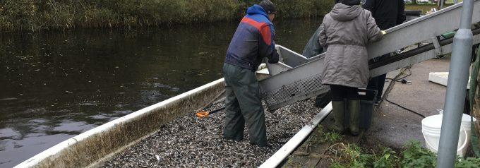 Miljöchefens felräkning av miljögift i fisk synad av Livsmedelsverket