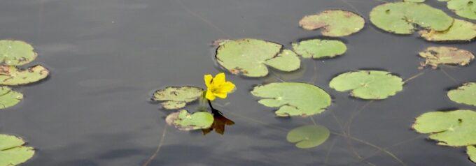 Vacker men förrädisk växt ska inventeras och bekämpas